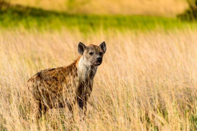 hyena_in_the_grass_in_the_moremi_game_reserve_okavango_river_delta_national_park_botswana_1