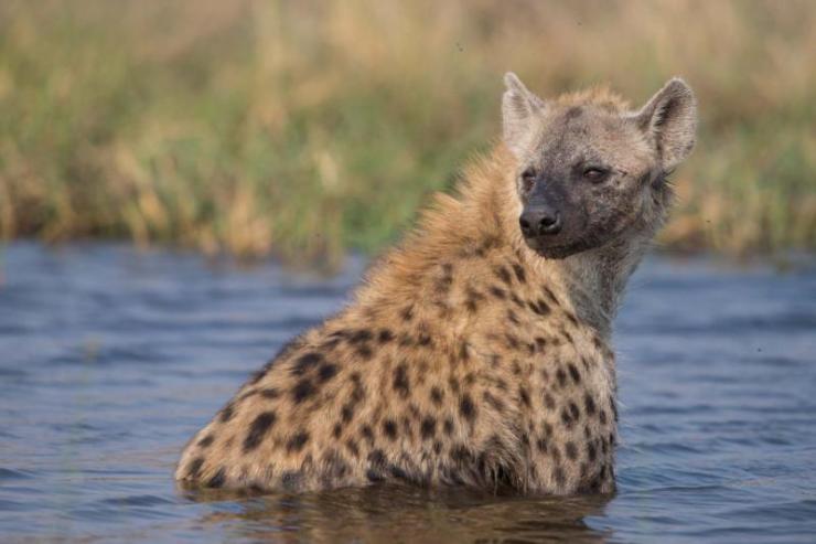 hyena_taking_a_bath._moremi_national_park_khwai_area