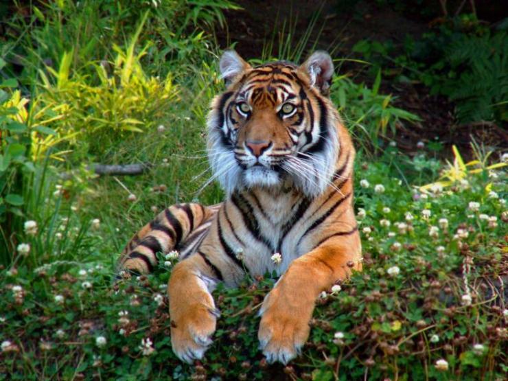 india-watchful_bengal_tiger