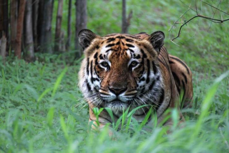 india_bandhavgarh_crouching_tiger_2