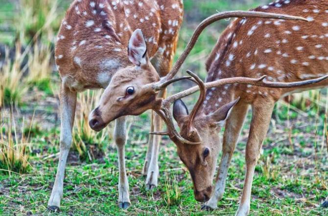 india_bandhavgarh_national_park_in_india_chital_or_cheetal_deers