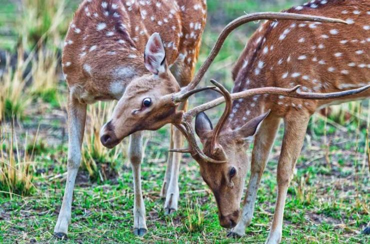 india_bandhavgarh_national_park_in_india_chital_or_cheetal_deers