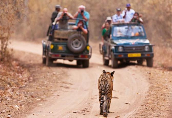 india_bengal_tiger_walking_towards_2_jeeps_full_of_tourists_in_bandhavgarh_national_park