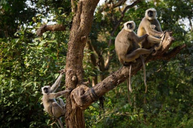 india_black_monkeys_in_tree_in_rishikesh