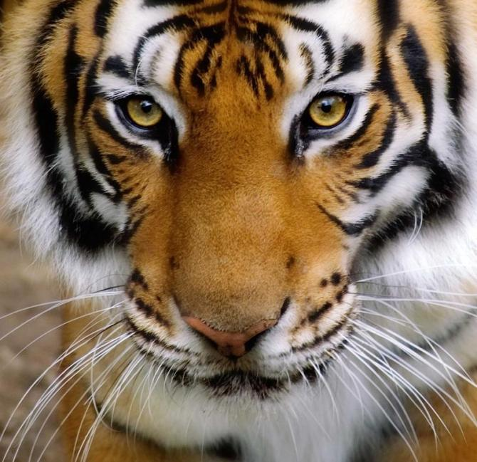 india_close-up_of_a_tigers_face