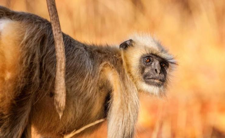 india_gray_langur_also_known_as_hanuman_langur_in_the_bandhavgarh_national_park_in_india