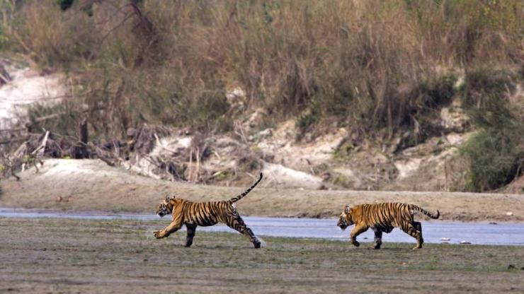 india_kanha_two_young_wild_tigers_running_in_riverside_in_nepal_bardia_national_park_landscape