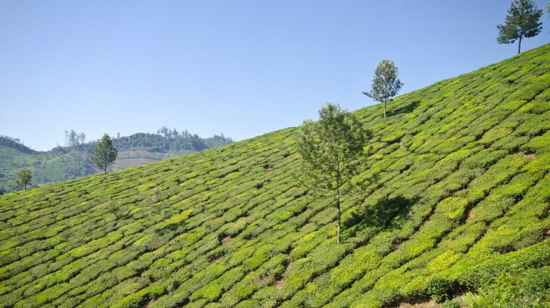india_munnar_tea_plantation_view