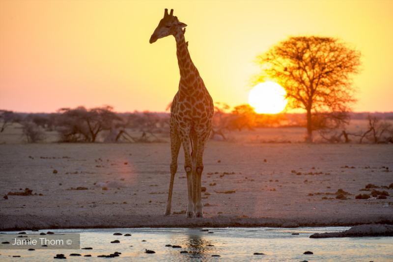 _JT22812_Jamie_Thom_Giraffe_Botswana_UBA2015