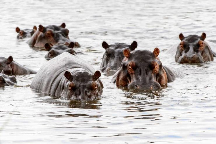 manyhippopotamusinthemoremigamereserveokavangoriverdeltanationalparkbotswana_1