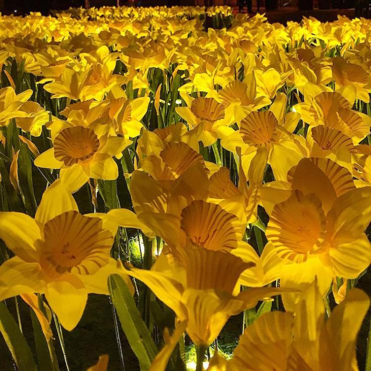 marie-curie-greyworld-garden-of-light-daffodil-installation-6