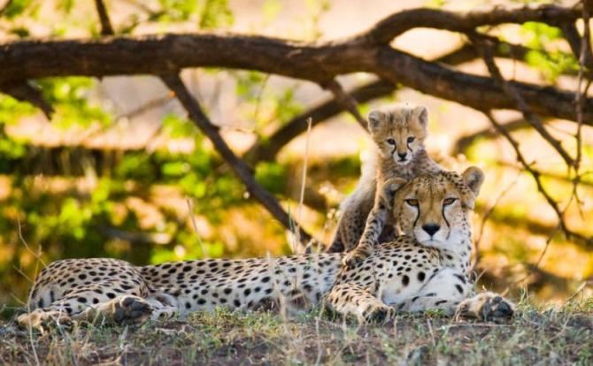 mother_cheetah_and_her_cub_in_the_savannah._kenya._tanzania._africa._national_park._serengeti._maasai_mara._an_excellent_illustration