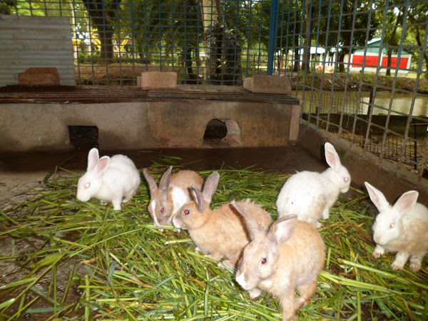 Rabbit Farming1