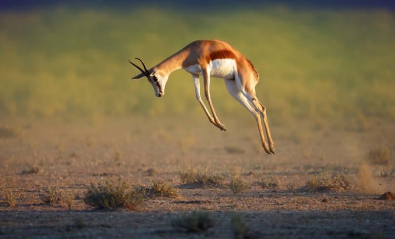 running_springbok_jumping_high_-_antidorcas_marsupialis_-_kalahari_-_south_africa
