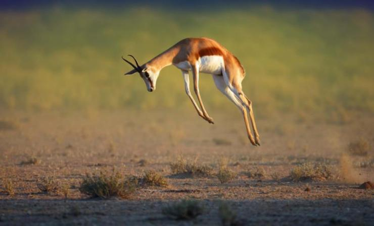 running_springbok_jumping_high_-_antidorcas_marsupialis_-_kalahari_-_south_africa