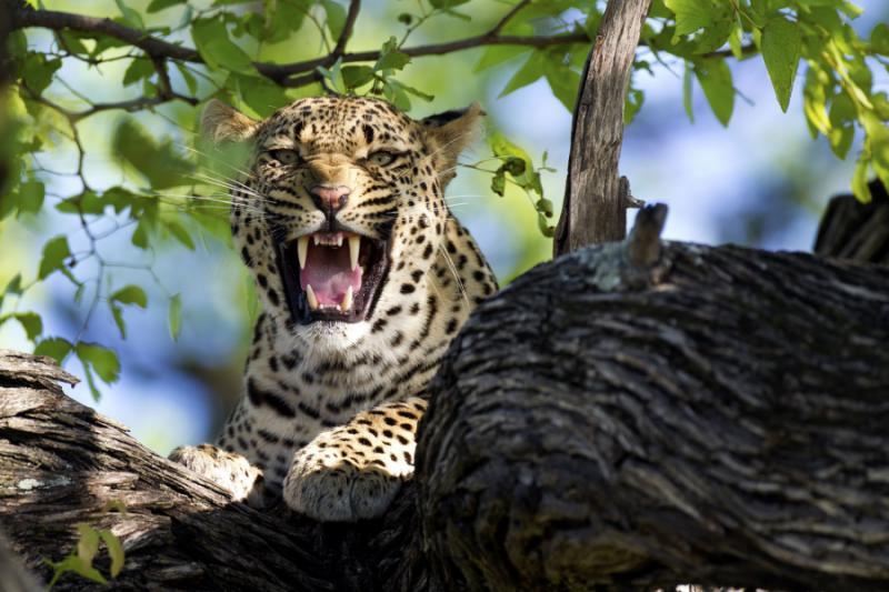 snarling_leopard_in_okavango_delta_2