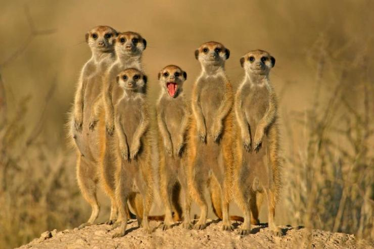 south-africa-kalahari-meerkat-family-on-alert-full