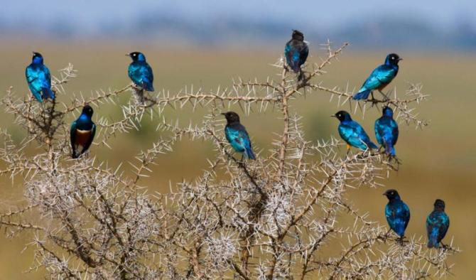 superb_starling._tanzania._africa._beautiful_birds._an_excellent_illustration
