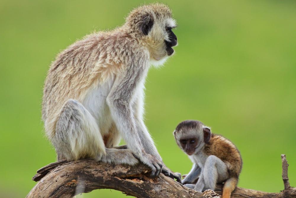 Tanzania_Serengeti_NP_Tour_Black-faced_Vervet_Monkeys_-_Bobby_Tours