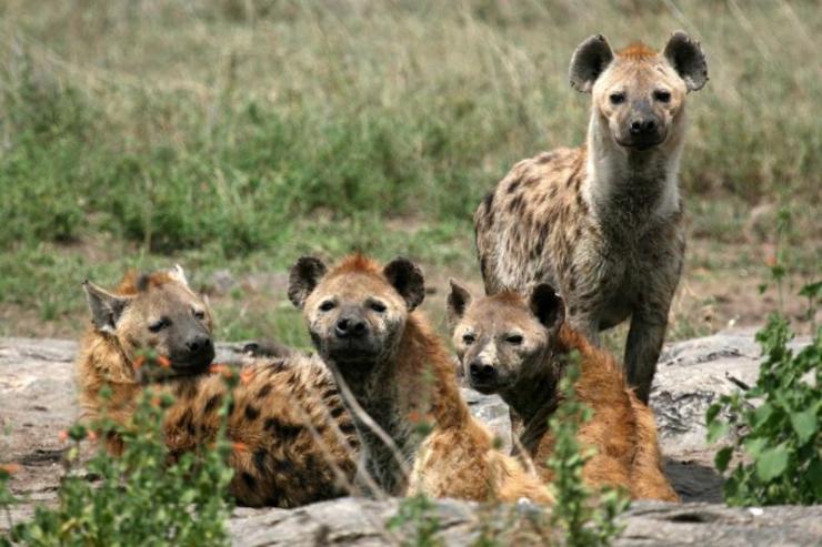 tanzania_serengeti_tour_hyenas_0