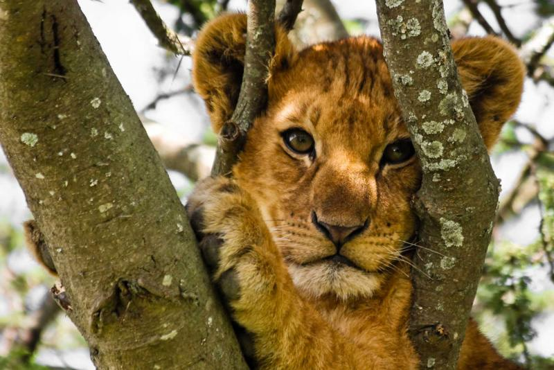 tanzania_serengeti_tour_lion_cub_in_tree_2