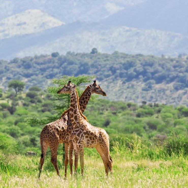tanzania_tarangire_np_tour_giraffes_-_bobby_tours