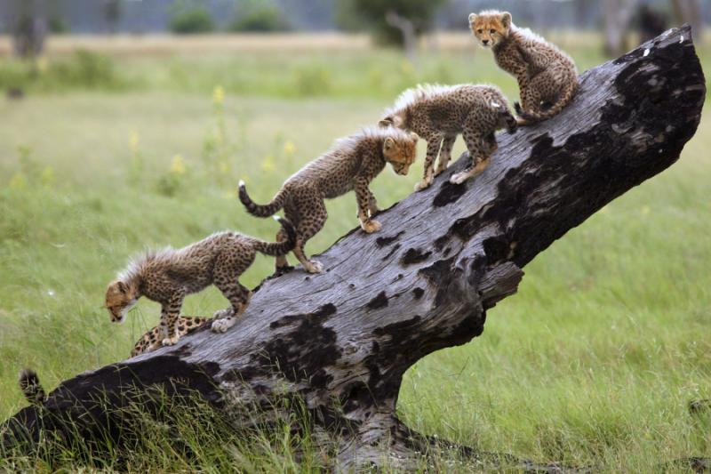 the_cheetah_acinonyx_jubatus_also_known_as_the_hunting_leopard_cubs_on_a_slant_dry_tree