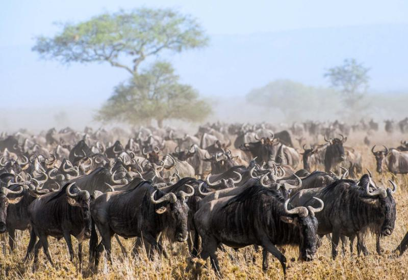 the_herd_of_migrating_antelopes_goes_on_dusty_savanna._the_wildebeests_also_called_gnus_or_wildebai_are_a_genus_of_antelopes_connochaetes._kenya_._africa