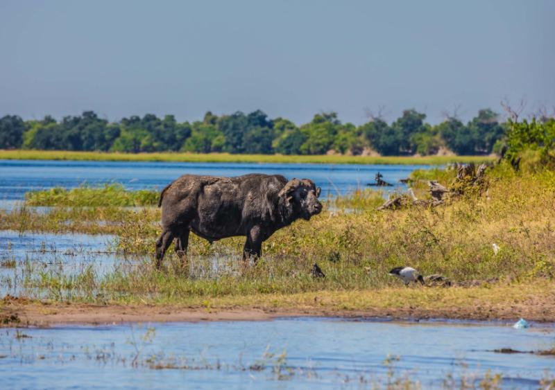 watering_large_animals_in_the_okavango_delta._buffalo_-_single._chobe_national_park_in_botswana._the_concept_of_extreme_tourism_0