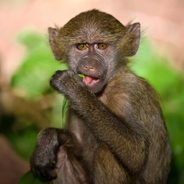 young_baboon_in_the_beautiful_forest_of_lake_manara_national_park_tanzania