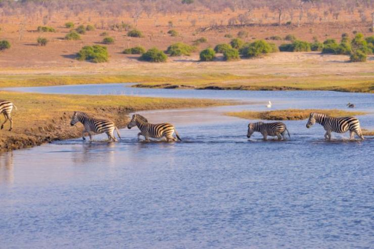 zebras_crossing_chobe_river._glowing_warm_sunset_light._wildlife_safari_in_the_african_national_parks_and_wildlife_reserves