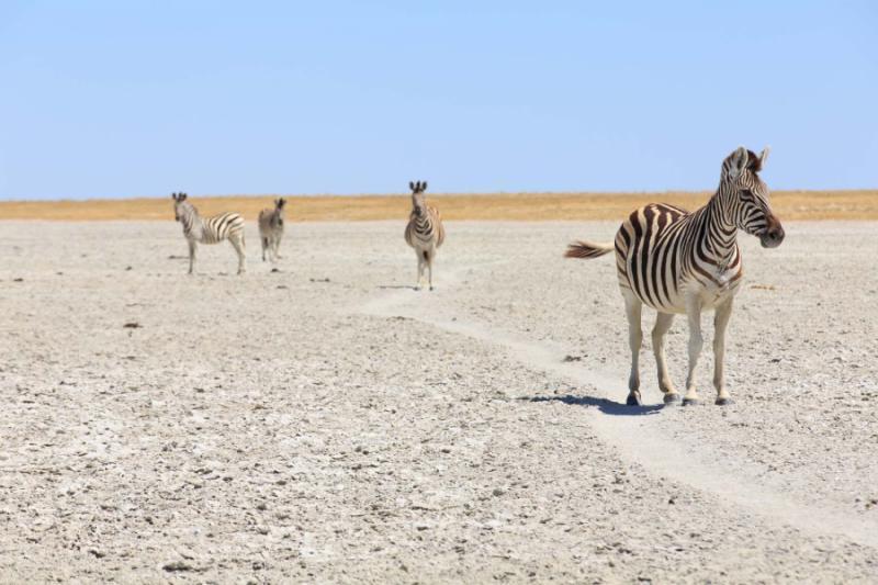 zebras_in_the_great_salt_pans_-_makgadikgadi_and_nxai_-_botswana
