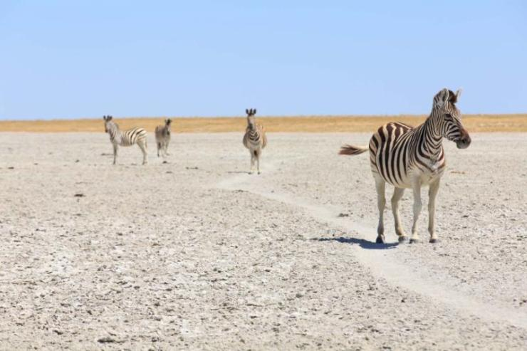 zebras_in_the_great_salt_pans_-_makgadikgadi_and_nxai_-_botswana