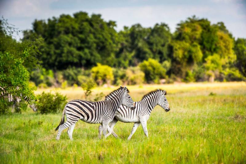 zebrawalksonthegrassinthemoremigamereserveokavangoriverdeltanationalparkbotswana