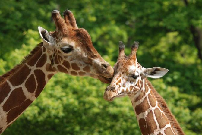 africa-girafes-closeup_0