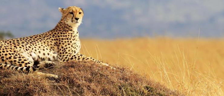 africa-kenya-masai-mara-national-reserve-cheetah_0