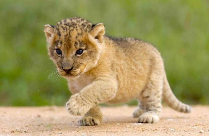 africa-south-africa-african_lion_cub_0