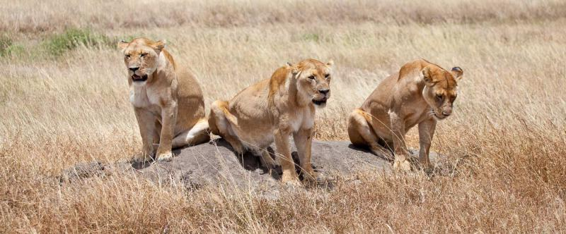 africa-tanzania-serengeti-national-park-lioness-pride-on-the-hunt