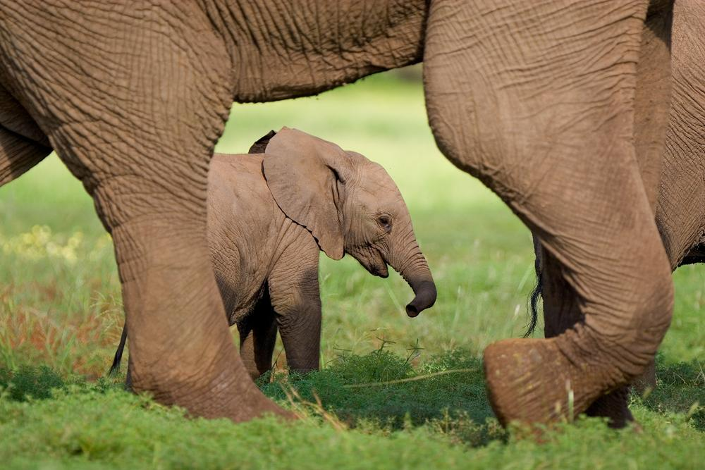 Africa_A_Small_Elephant_Cal_Walking_Behind_its_Mothers_Feet_0