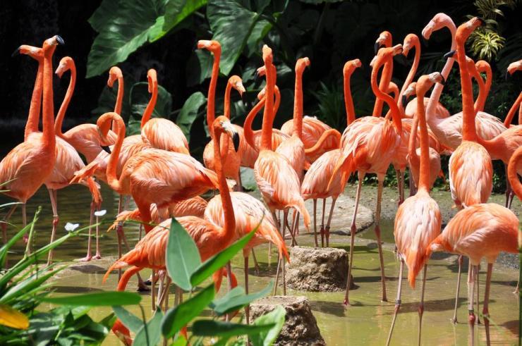Africa_Caribbean_Flamingos