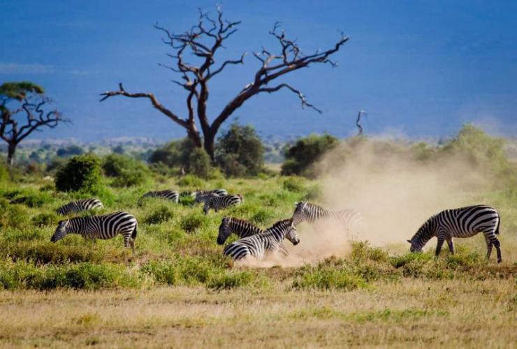africa_kenya_amboseli_herd_african_zebras_in_amboseli1
