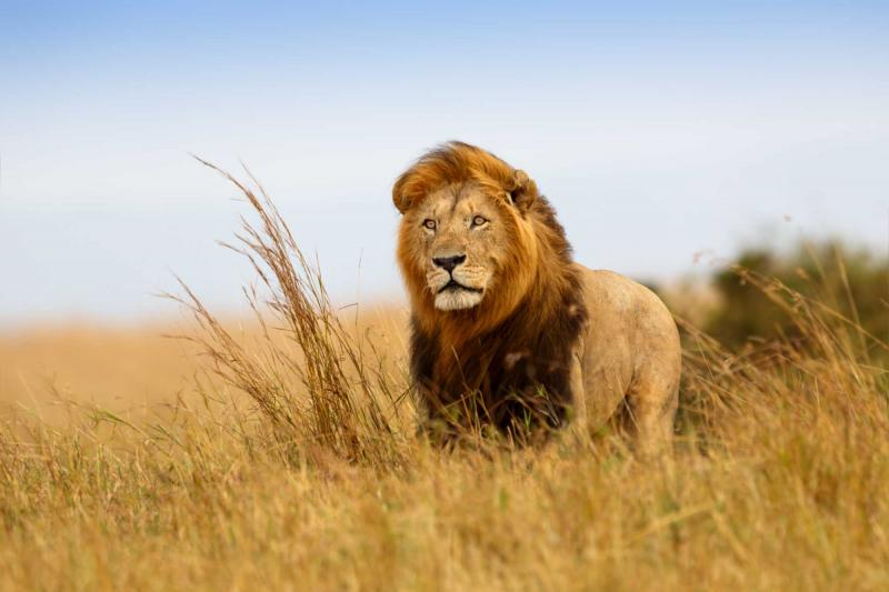 africa_kenya_masai-mara_beautiful_lion_caesar_in_the_golden_grass_of_masai_mara_2