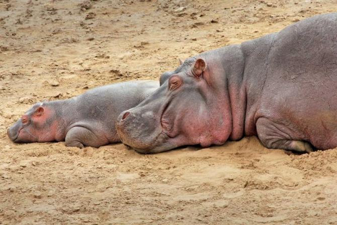 africa_kenya_masai_mara_hippopotamus_sleep_on_the_bank_of_the_mara_river_3