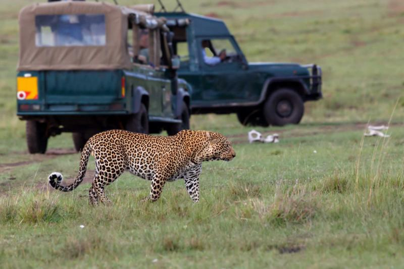 africa_kenya_masai_mara_leopard_with_safari_cars_1