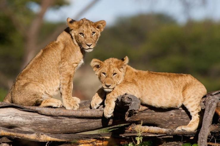 africa_kenya_tanzania_two_small_lion_cubs_resting_on_a_fallen_tree_stump