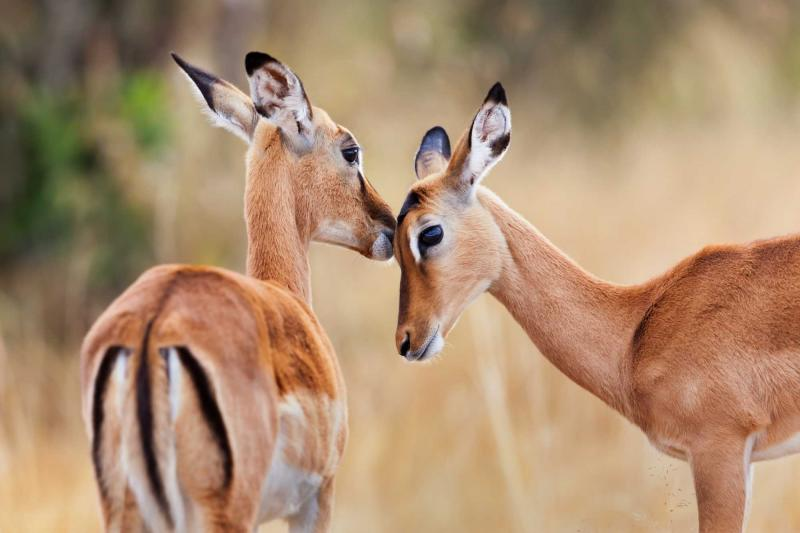 africa_kenya_two_beautiful_impala_antelopes_head_profile_portrait_0