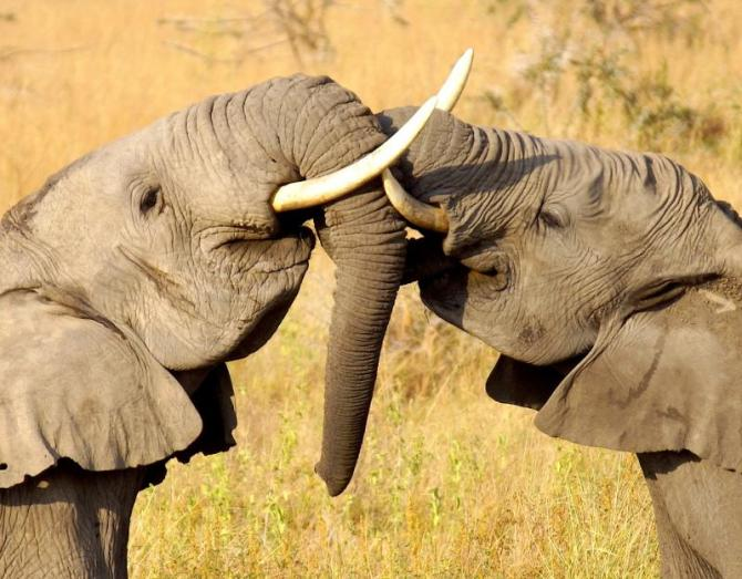 africa_kenya_two_young_elephants_are_playing_together_on_the_savannah_in_africa_closeup