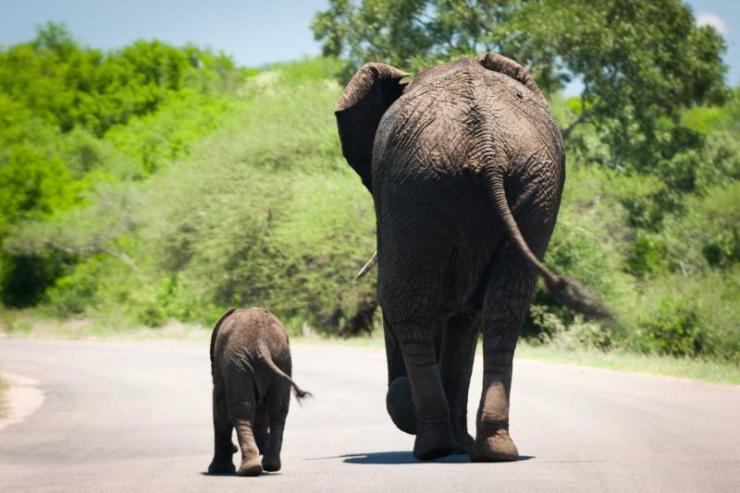 africa_safari_baby_elephant_and_its_mama_walking_in_sync_0