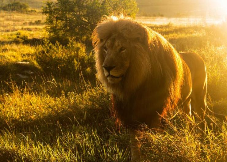 africa_south-africa_close_up_of_an_old_large_male_lion