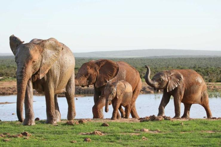 africa_south_africa_african_elephant_family_leaving_a_waterhole_after_drinking1